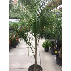 BERN Palm Queen  6-7'' 14'' pot