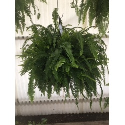 Hanging Basket 12'' Boston Fern